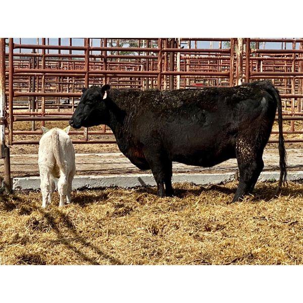 Lot 12 - Pen 510 - 5 pair - 5-6th calvers