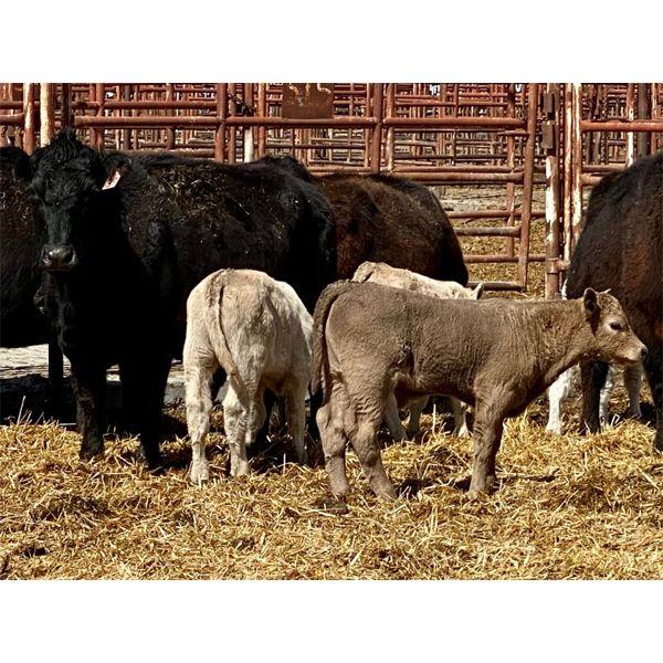 Lot 13 - Pen 512 - 5 pair - 5-6th calvers