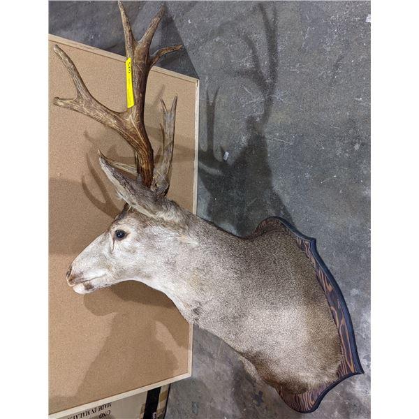 Taxidermy Deer head mount 6 point buck