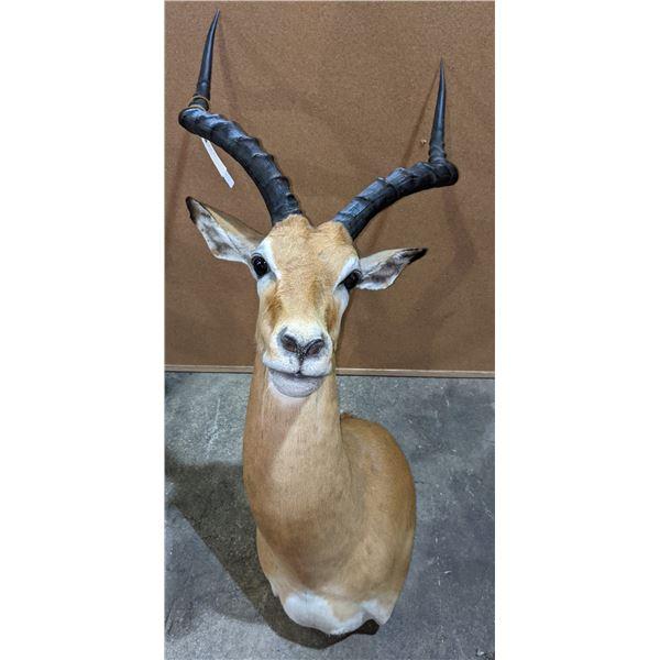 Taxidermy Impala head mount w/tag number