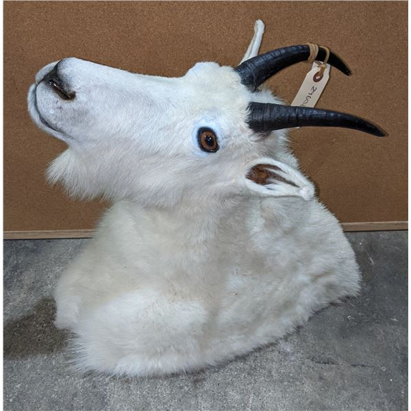 Taxidermy Mount Goat head mount w/tag number