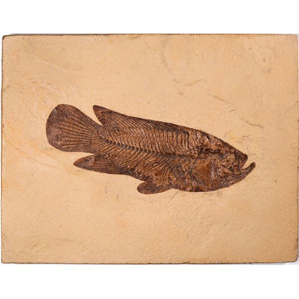Asineops Fish Fossil, Green River Formation, Wyoming  [132996]