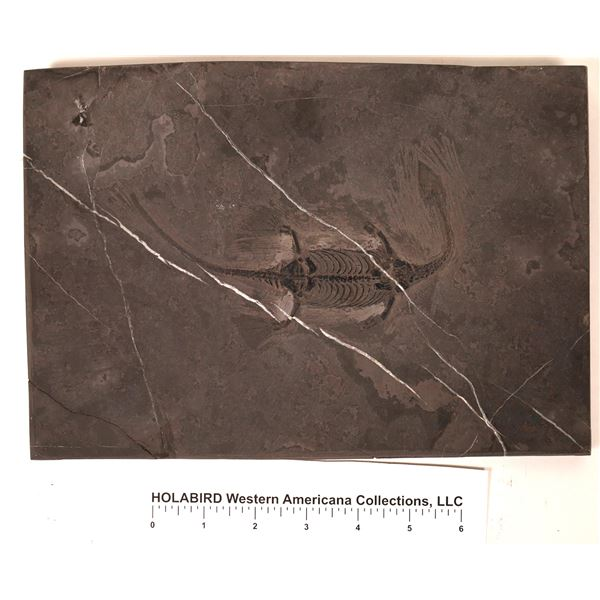 Keichousaurus  Fossil in Black Shale  [121711]
