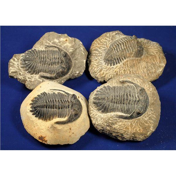 Trilobite Fossils - 4  [132877]
