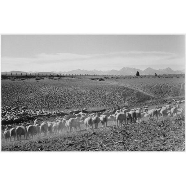 Adams - Flock in Owens Valley 2, 1941