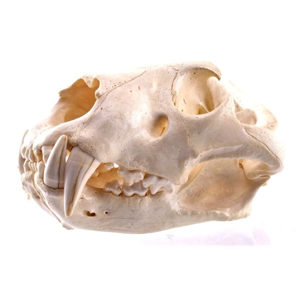 Professional Taxidermy African Male Lion Skull
