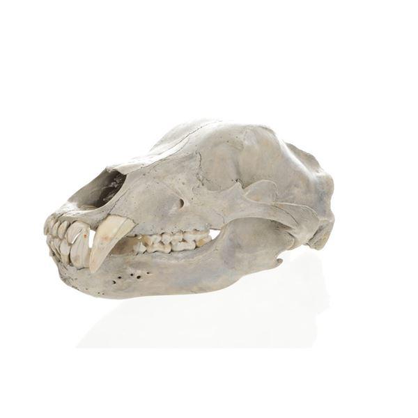 Trophy Alaskan Brown Bear Taxidermy Skull