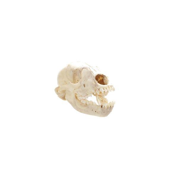 Montana Black Bear Cub Taxidermy Skull