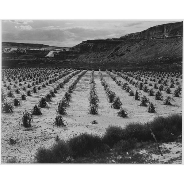 Adams - Corn Field, Indian Farm near Tuba City, Arizona 1941 2