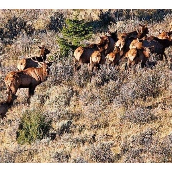 New Mexico Bull Elk Tag