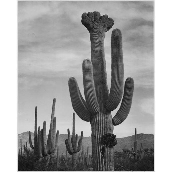 Adams - Cactus in Saguaro National Monument 2 in Arizona