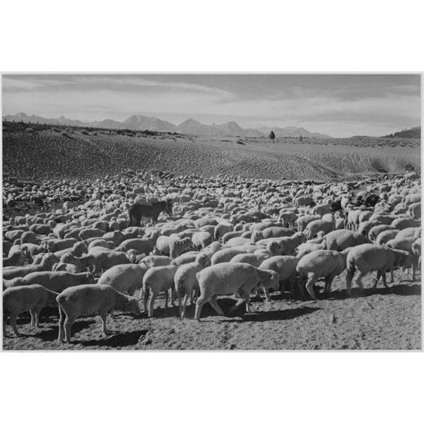 Adams - Flock in Owens Valley, 1941