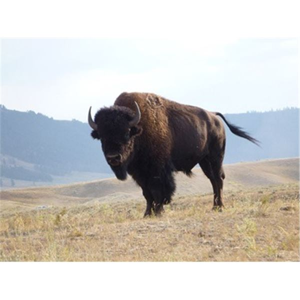 Bison Hunt in Montana