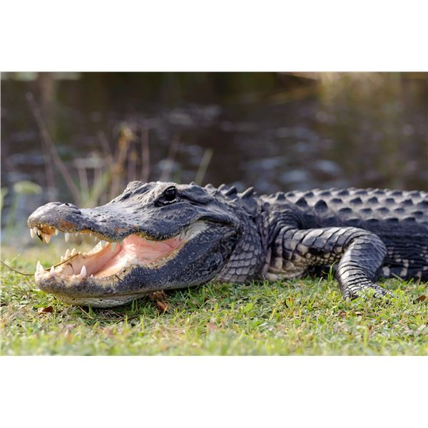 Florida Alligator Hunt