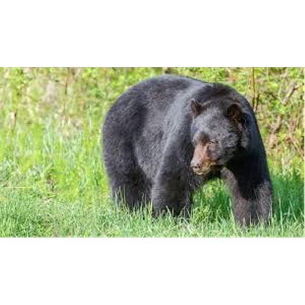 Black Bear Hunt in California
