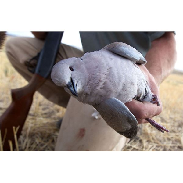 Iowa Dove Hunt
