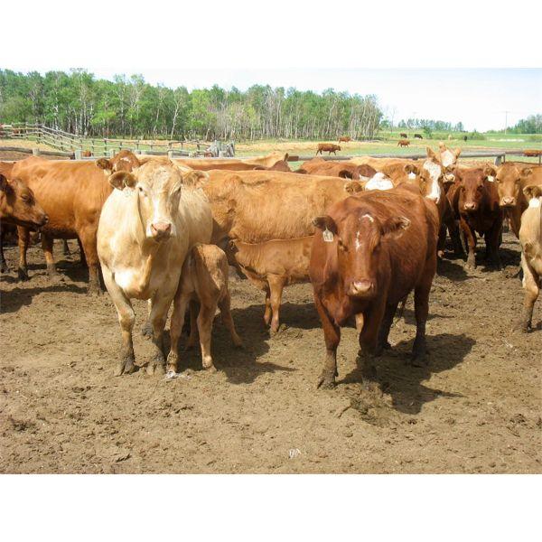 Fourie Farming Ltd. - 6th Calf Pairs - 27 Head (Whitewood, SK)