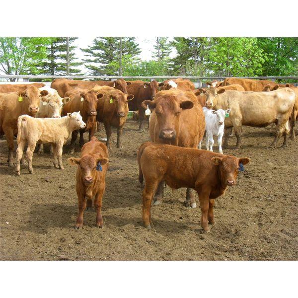 Fourie Farming Ltd. - 7th - 9th Calf Pairs - 22 Head (Whitewood, SK)