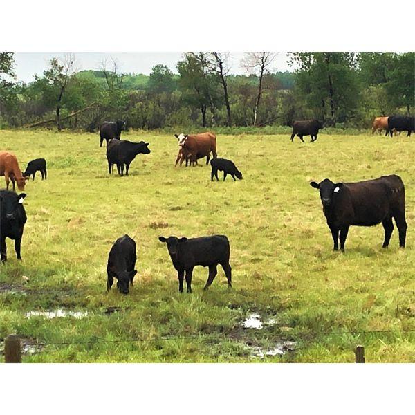 Hanging H Ranch Ltd. - 525# Steer Calves - 100 Head (Marwayne, AB)