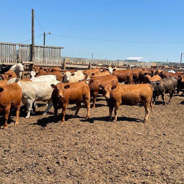 South Island Farms - 900# Heifers - 190 Head (Bow Island, AB)