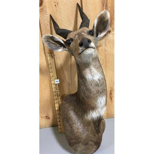 """AFRICAN IMPALA MOUNT - APPROX 26 """" -"""