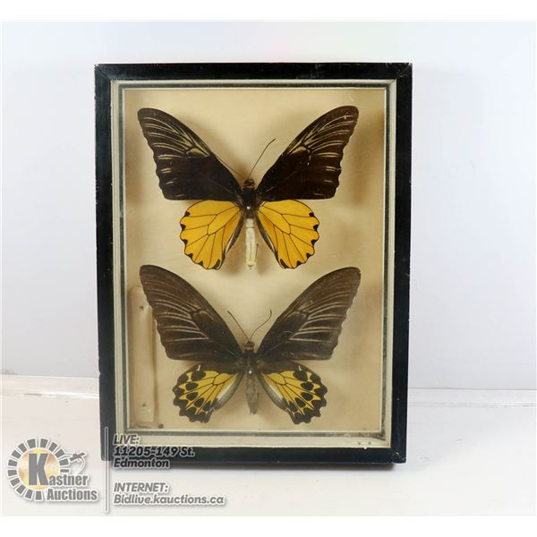 PAIR OF MOUNTED BUTTERFLY SPECIMENS