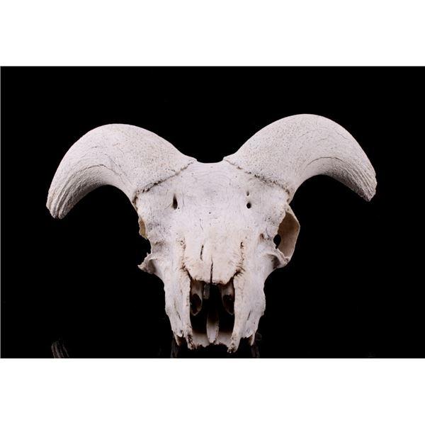 Alaskan Dall Sheep Professional Taxidermy Skull