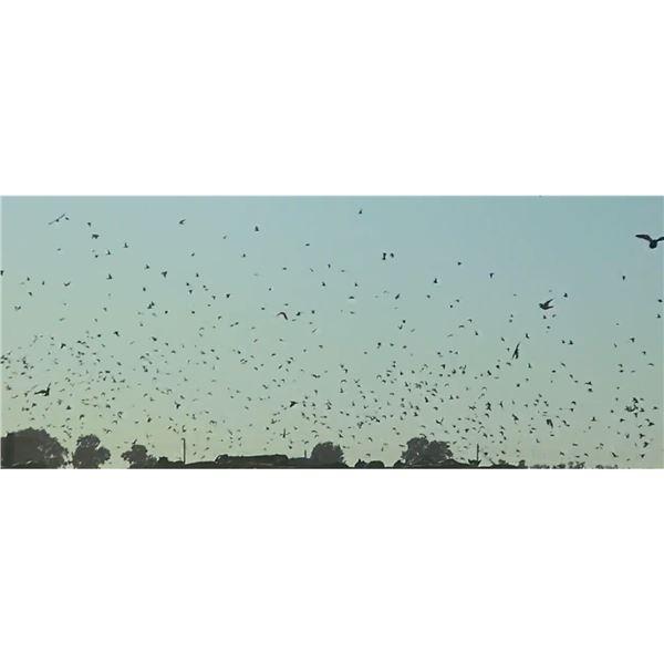 Argentina Dove Hunt for 6 Hunters