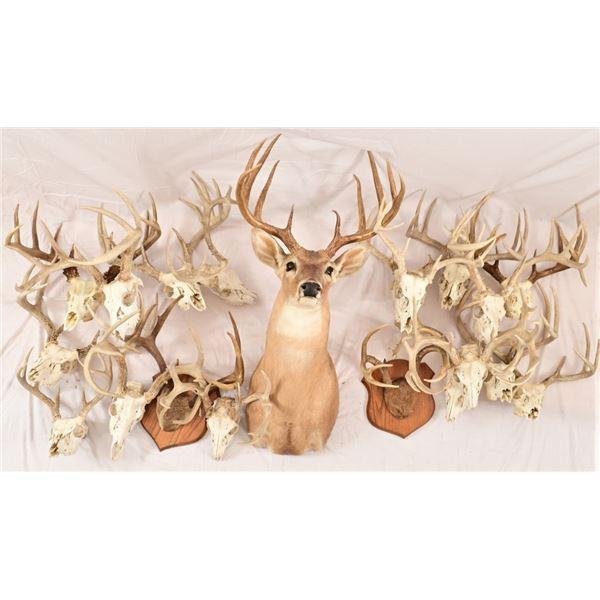 Collection of Deer Antlers & Shoulder Mount