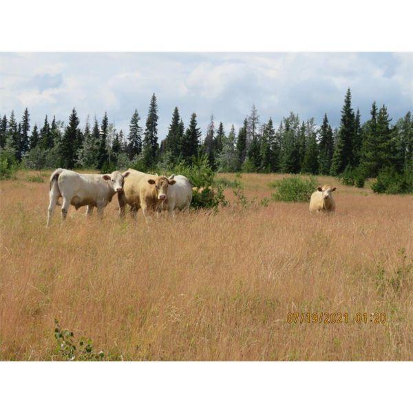 Ootsa Lake Cattle Co. - 880# Steers - 72 Head (Vanderhoof, BC)