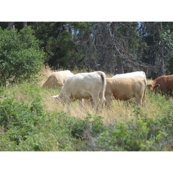 Ootsa Lake Cattle Co. - 780# Heifers - 80 Head (Vanderhoof, BC)