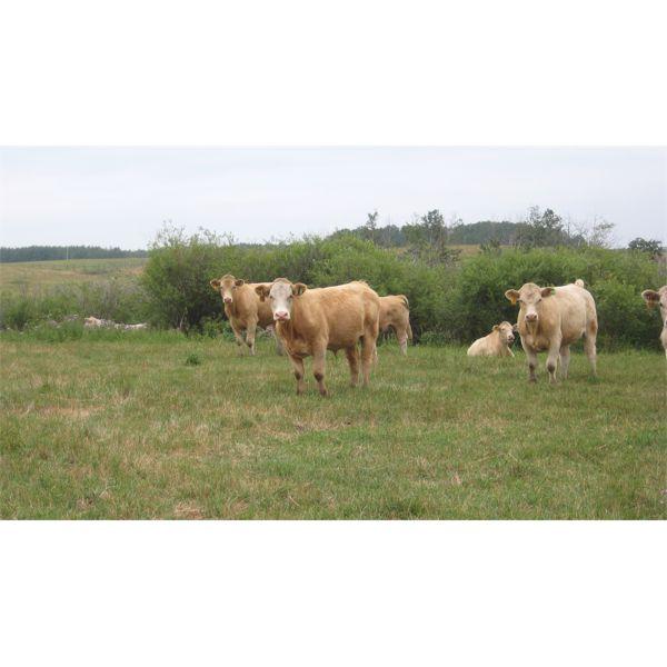Larson Ag Ventures - 1050# Steers - 152 Head (Tulliby Lake, AB)