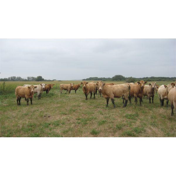 Larson Ag Ventures - 1000# Heifers - 152 Head (Tulliby Lake, AB)