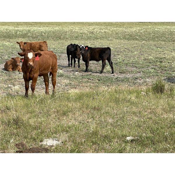 Blind Creek Holdings/Lain L&L Farms - 600# Steer Calves - 65 Head (Harris, SK)