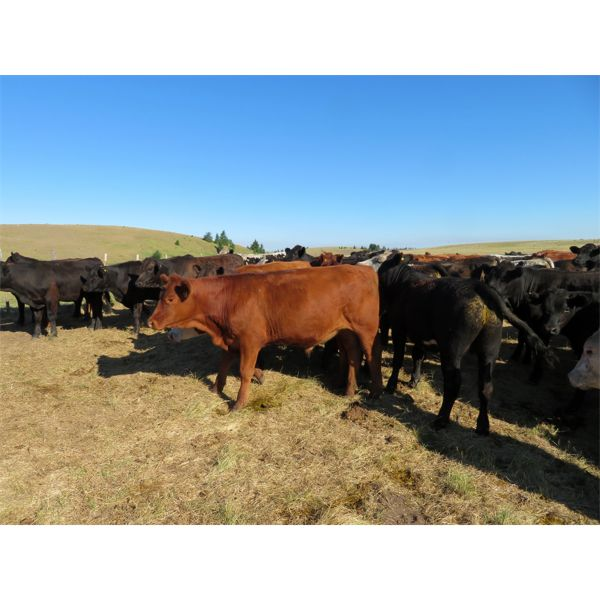 Guichon Ranch - 910# Steers - 67 Head (Quilchena, BC)