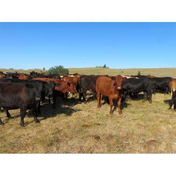 Guichon Ranch - 760# Heifers - 82 Head (Quilchena, BC)