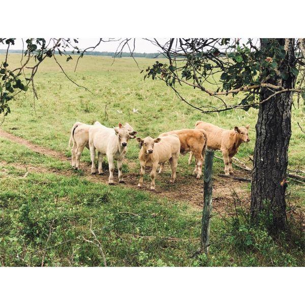 Franklin Cattle Co. - 600# Steer Calves - 100 Head (Pierceland, SK)