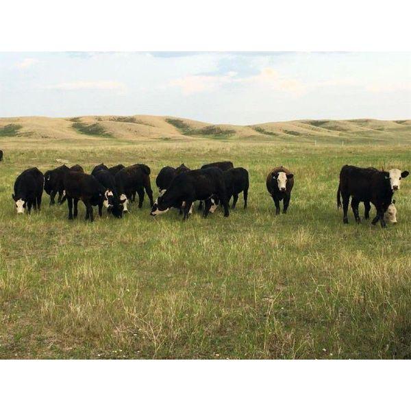 S&S Kirby Farms Ltd. - 890# Heifers - 63 Head (Assiniboia, SK)