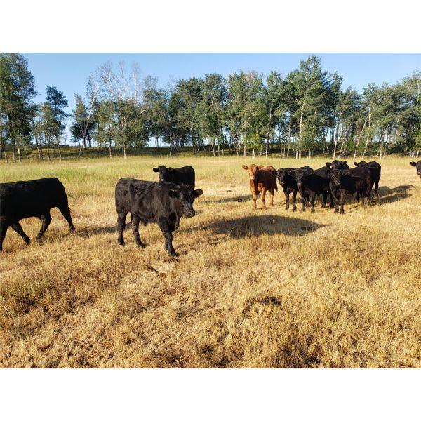 B-C Ranch - 780# Steers - 232 Head (Meadow Lake, SK)