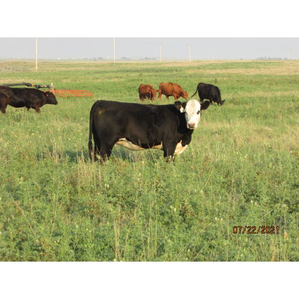 Johnson Feeders -  890# Heifers - 146 Head (Bassano, AB)