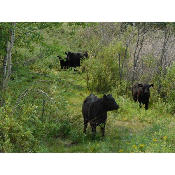 Starland Colony - 725# Steer Calves - 125 Head (Drumheller, AB)