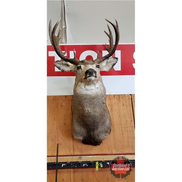 Taxidermy Mule Deer - Mounted (c/w: Tag and Paperwork)