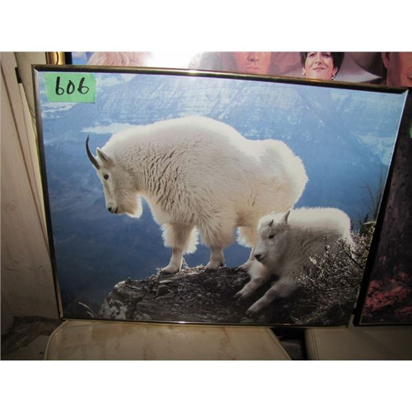 lot of two pictures - Mountain goats and wolf