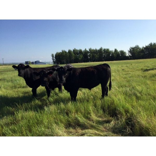 Diamond Willow Ranch Inc. - 1050# Steers - 488 Head (Chauvin, AB)