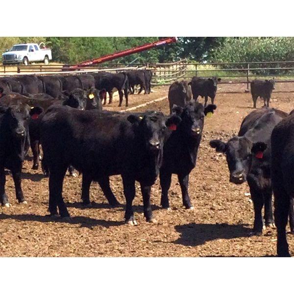 Babcock Livestock - 870# Steers - 72 Head (Czar, AB)