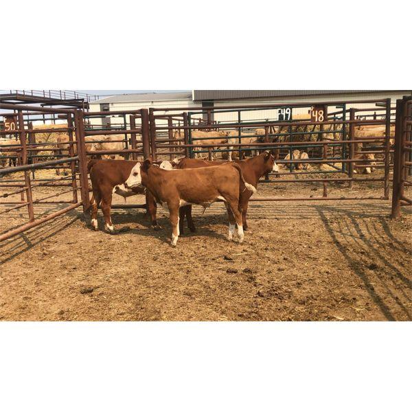 Leggett Farms - 375# Steer Calves - 4 Head (Pen 48)