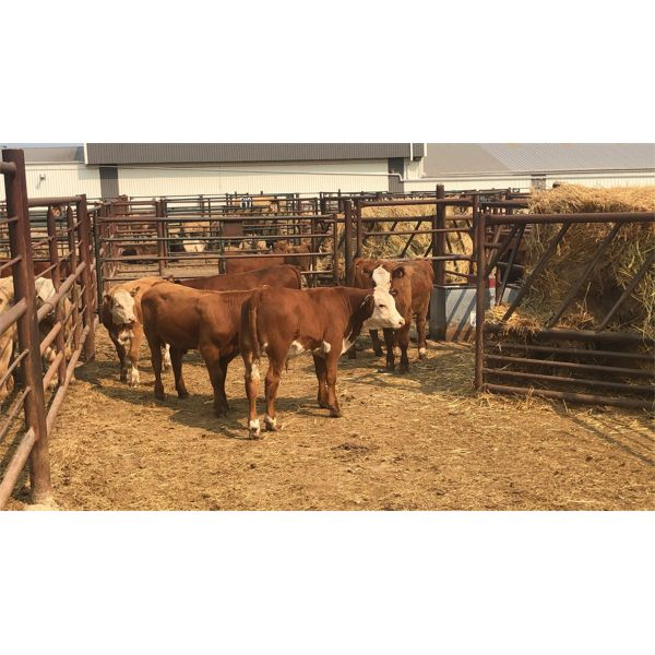 Leggett Farms - 447# Steer Calves - 5 Head (Pen 77)