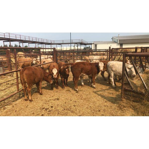 Leggett Farms - 519# Steer Calves - 8 Head (Pen 81)