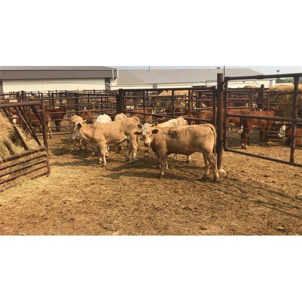Leggett Farms - 439# Steer Calves - 6 Head (Pen 79)