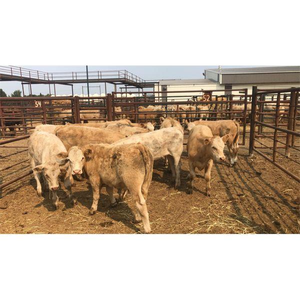 Leggett Farms - 531# Steer Calves - 11 Head (Pen 52)